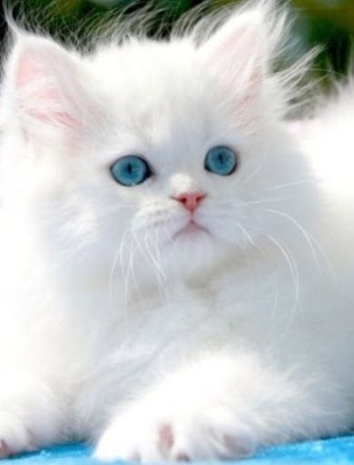 Snowball cat with gorgeous eyes!