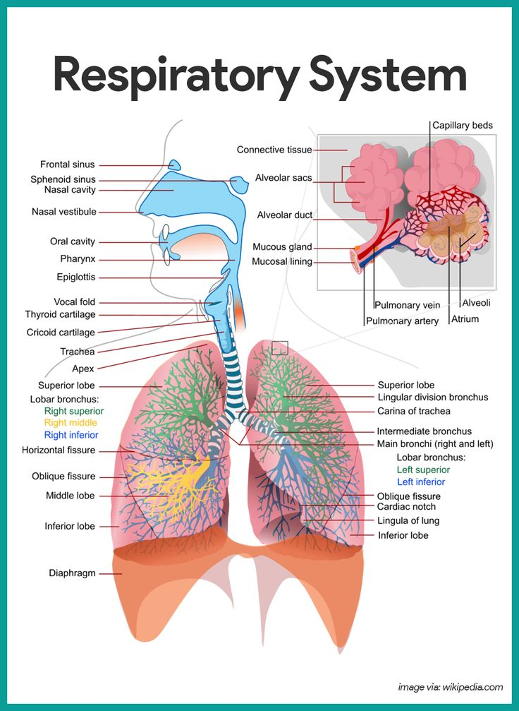 Respiratory    System    Anatomy and Physiology   Nursing School and Study Guides   Respiratory    system