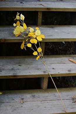Yellow Aspen spray