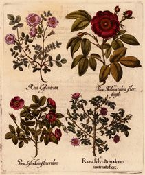 by Besler, Basilius -- Rosa sylvestris odorata incarnato flore. - I. Eglantine rose; Sweet briar II. Dog rose; Common briar; Dog briar III. red rose; French rose IV. Eglantine rose; Sweet briar -- Nürnberg & Eichstätt, 1613 [c. 48 x 40 cm] -- Original copper engraving in fine hand coloring. Published in the first edition of the 'Hortus Eystettensis' in 1613, verso with printed text. - Plate: 99