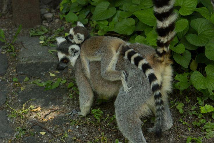 Közönséges maki kölyök az anyjával. Ring-tailed lemur baby with her mother.