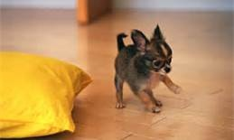 "chiwawa puppies pictures - Bing Images  [X:  Did they really mean to write ""chiwawa""?]"