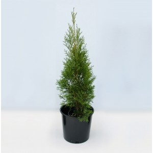 Thuja occidentalis smaragd 60-80cm