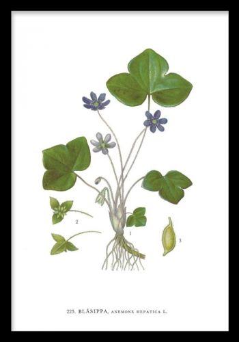 Hepatica flower, plakat. Botanisk print, blå anemone. Plakat med blå anemone. Originalen er fra Nordens Flora. Smukt nordisk motiv, og passer med vores øvrige botaniske prints.