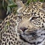 Jelang Pilpres, Macan Tutul dan Harimau Teror 2 Desa