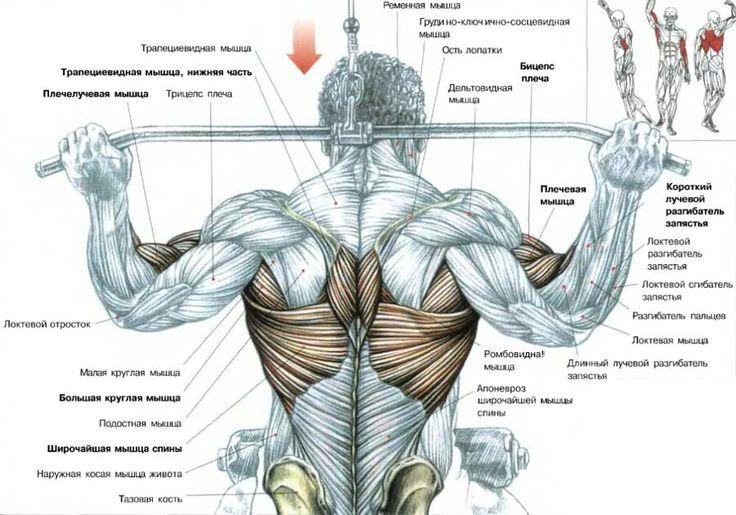 Мышца ромбовидная фото