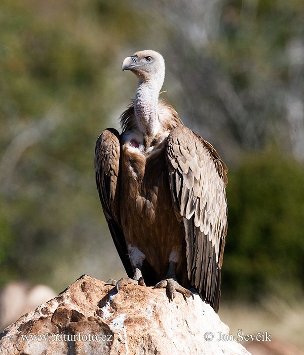Griffon Vulture Photos, Griffon Vulture Images | NaturePhoto-CZ