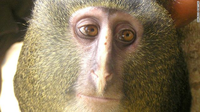 Nairobi, Kenya. Scientists say they have discovered a new species of monkey living in the remote forests of the Democratic Republic of Congo -- an animal well-known to local hunters but until now, unknown to the outside world. In a paper published Wednesday in the open-access journal Plos One, the scientists describe the new species that they call Cercopithecus Lomamiensis. They say it is only the 2nd discovery of a monkey species in 28 years.