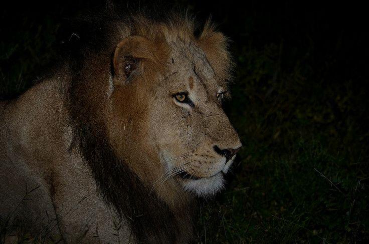 Close up lion!