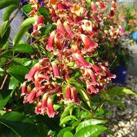 pandorea wonga wongan vine-ruby-belle