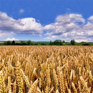 Una serie de investigaciones desarrolladas en España han permitido neutralizar las proteínas que componen el gluten del trigo, permitiendo producir trigo que es apto para consumidores celíacos. El gluten se encuentra en una gran cantidad de cereales: el trigo, el centeno, la cebada, la avena, la espelta...