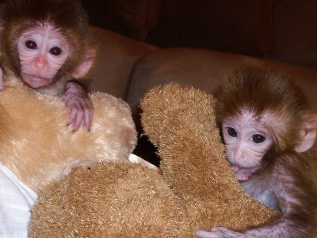 Finding a baby capuchin monkeys for sale, white faced capuchin monkeys for sale or for that matter a general capuchin for sale is not at all a rocket science. All you need to know is a few things and you're good to go. Follow these steps to make your work easier.