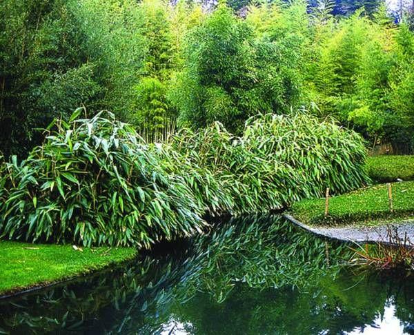 Курильский бамбук - саза курильская или бамбучник (Sasa kurilensis) - использование в ландшафтном дизайне