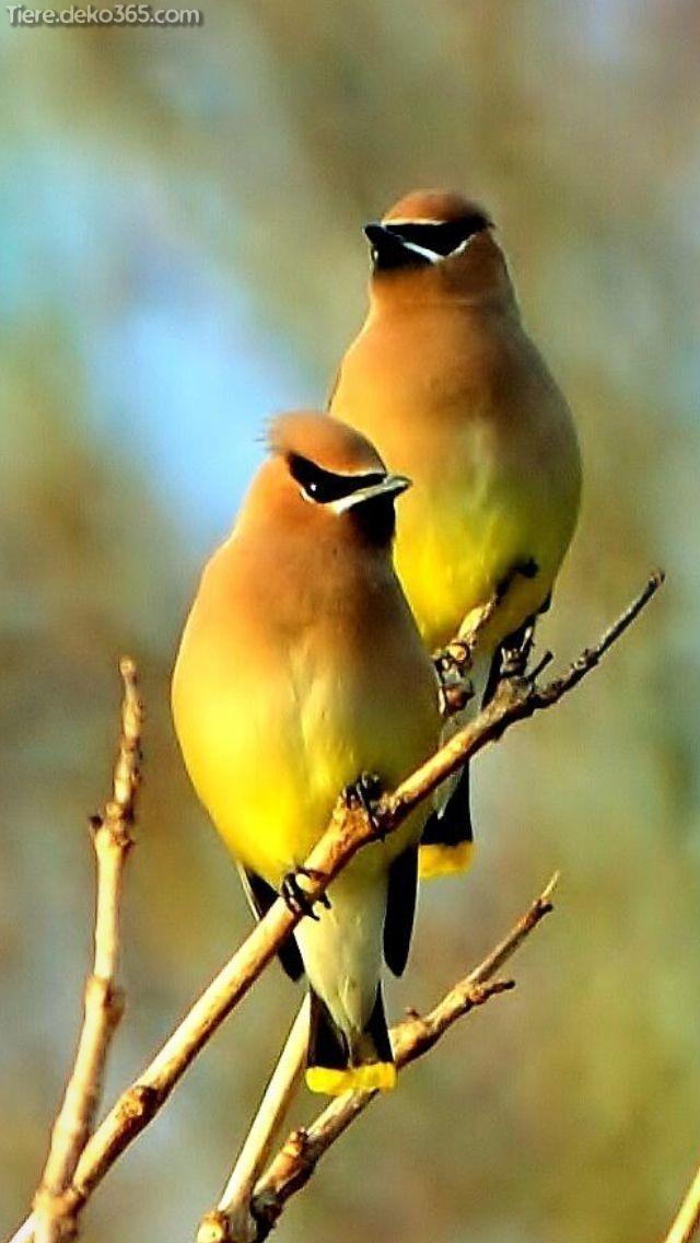 Ausgezeichnet Wunderschöne gelbe Kardinalvögel