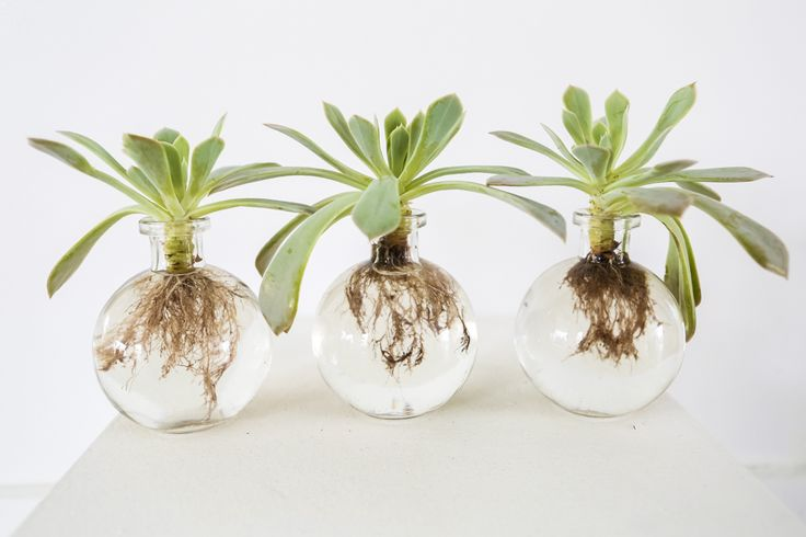 Spruce Succulents in baby bubble bottles