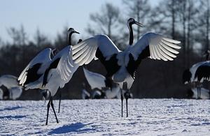 Red-crowned crane - Kushiro,Hokkaido,Japan