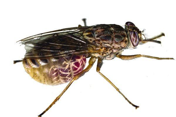 Tsetse-Most dangerous insects