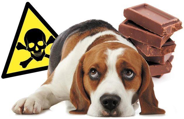 Le chocolat est dangereux pour les animaux de compagnie. Il peut être mortel, en particulier pour les chiens, les chats, les rats, les perroquets ou les chevaux. En effet, il contient de la théobromine, un produit chimique semblable à la caféine, qui stimule le système nerveux et que leur métabolisme ne permet pas d'éliminer.