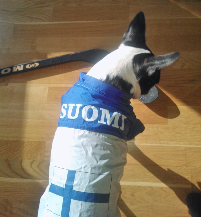 Here is a photo of a boston terrier dog named Saara wearing her finland jacket. Saara is supporting Finnish team in Ice Hockey World Championship games! Go Finland (Suomi)! - http://www.bterrier.com/saara-is-supporting-finland-in-ice-hockey-world-championship-games/