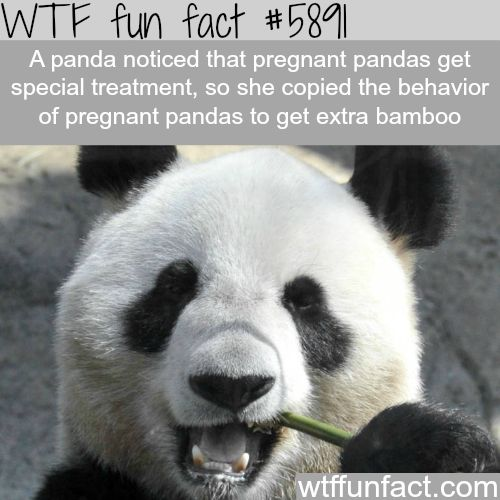 Panda acts pregnant to get more food - WTF fun facts