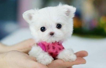 博客网 — 狐狸猫— 茶杯犬--把你的心都萌化了…
