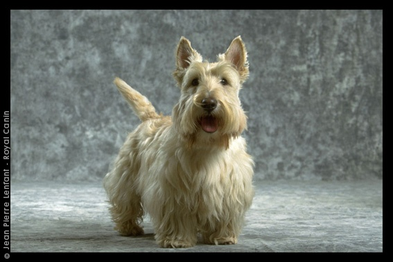71 best images about Scottish Terriers on Pinterest