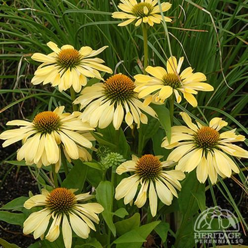 Echinacea 'Chiquita' 1' x '1 Mid Summer - Early fall Light Yellow