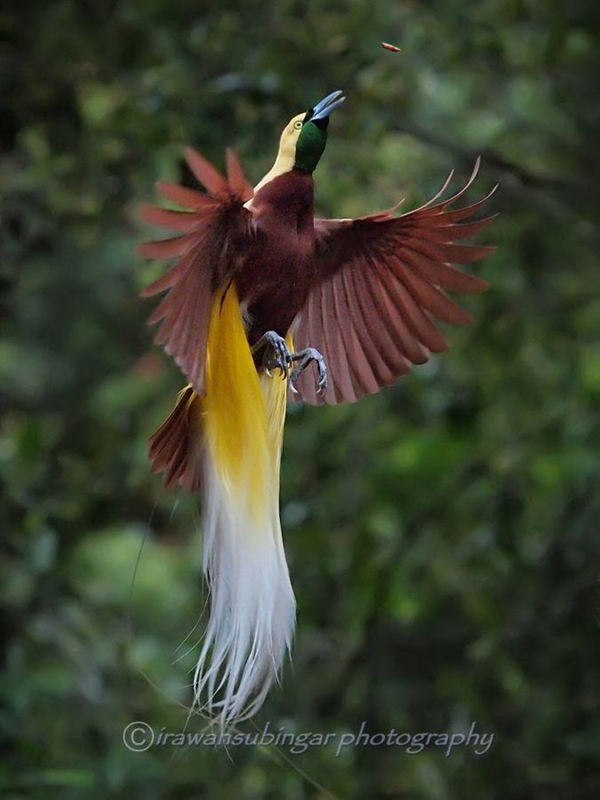 raggiana bird of paradise, cendrawasih | Birds, Animals ... on