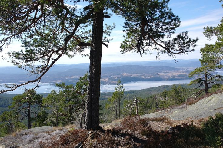 From the top of Geitebuvarden, Skien, Norway, 04.2011. #nature #norway #pinetree