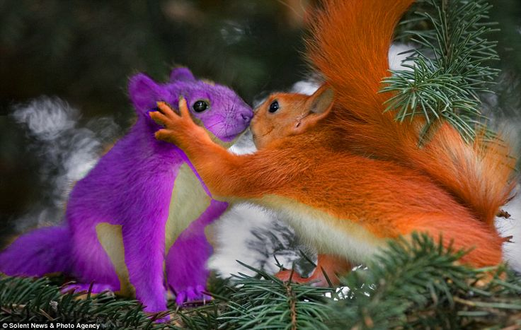 Purple Squirrel And Red Squirrel Like Surly And Andie