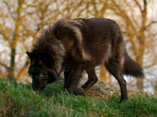Wolf #rotthades