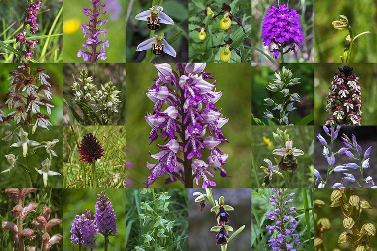 #Wild #wachsende #Orchideen von vier verschiedenen #Orten im Zentrum ein #Helm-#Knabenkraut