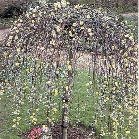 Dwarf weeping kilmarnock willow trees willow tree dwarf for Small ornamental weeping trees