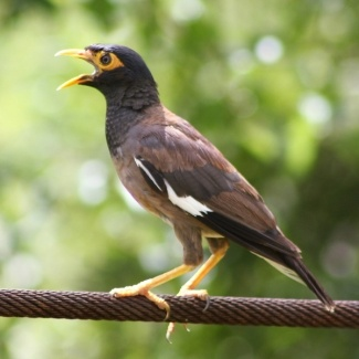 Common Myna | Acridotheres tristis  A medium-sized chocolate-brown bird, with a yellow beak, eye patch, feet and legs. The head, throat and tail are black, with the tail having white tips and white undertail feathers. The large white patches in the wings are noticeably visible when the bird is in flight. Native to India, central and southern Asia. These birds compete for the same resources as indigenous species.