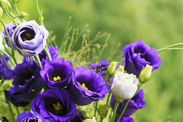 Eustoma - uprawa kwiatu często stosowanego w bukietach