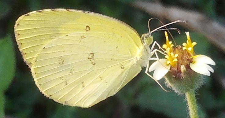 #আমার_চোখে #আমার_গ্রাম #nature #challenge365 #animalia #arthropoda #insecta #lepidoptera #butterfly