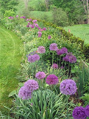 Alliums are drought-tolerant plants that actually prefer to be grown on the dry side. There are no serious diseases or insect pests that bother them. And you won't ever have to worry about rodents or deer, since they seem to have no appreciation for the taste of onions — ornamental or otherwise Must remember these next fall!
