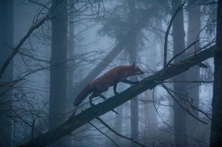 Germany  As mist haunts the Black Forest, a sure-footed red fox makes its way up the trunk of a half-fallen Douglas fir tree. This resourceful species, found across the Northern Hemisphere, is a symbol of cunning in many cultures and mythologies. This image appears in the October 2016 issue of National Geographic magazine.