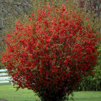 Flowering Quince Deer Resistant A Burst Of Scarlet In