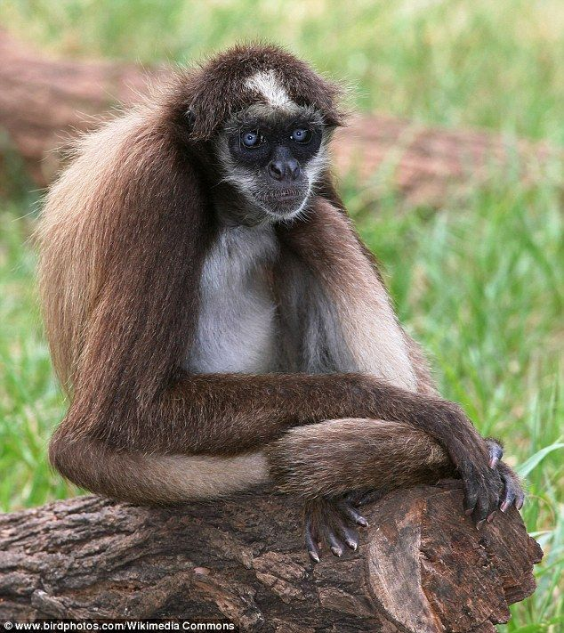 New World monkeys, such as this brown spider monkey, split from primates in the old world between 27 and 31 million years ago. Their brains changed shape as the spread across the South American continent and adapted to different habitats