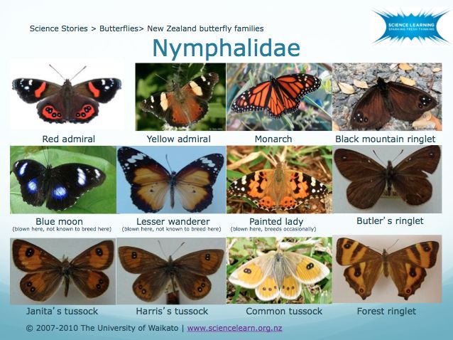 DOWNLOADABLE POWERPOINT - New Zealand butterfly families -  Butterflies are categorised into 5 families – Papilionidae, Pieridae, Nymphalidae, Riodinidae and Lycaenidae. In New Zealand, our butterfly species fall into 3 of these families, while 2 families are not represented.