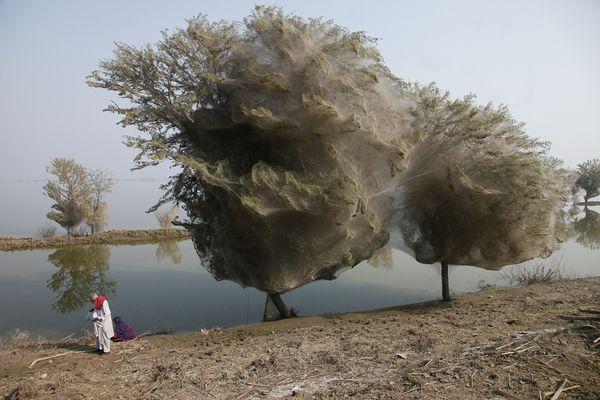 Web-Wrapped Trees    Photograph courtesy Russell Watkins, U.K. Department for International Development    Trees shrouded in ghostly cocoons line the edges of a submerged farm field in the Pakistani village of Sindh, where massive floods drove millions of spiders and possibly other insects into the trees to spin their webs.