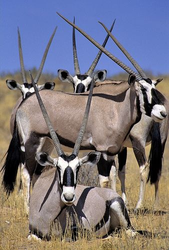 South Africa, Gemsboks   by Vittorio Ricci (THANKS+++2 MILLIONS VIEWS)