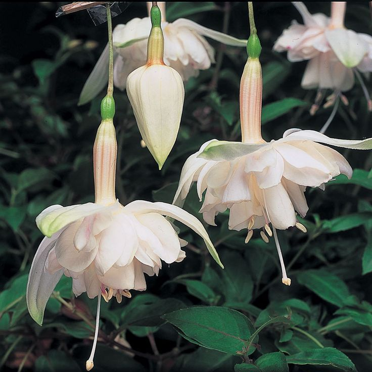Fuchsia 'Giants Pink Marshmallow' - Perennial & Biennial Plants - Thompson & Morgan
