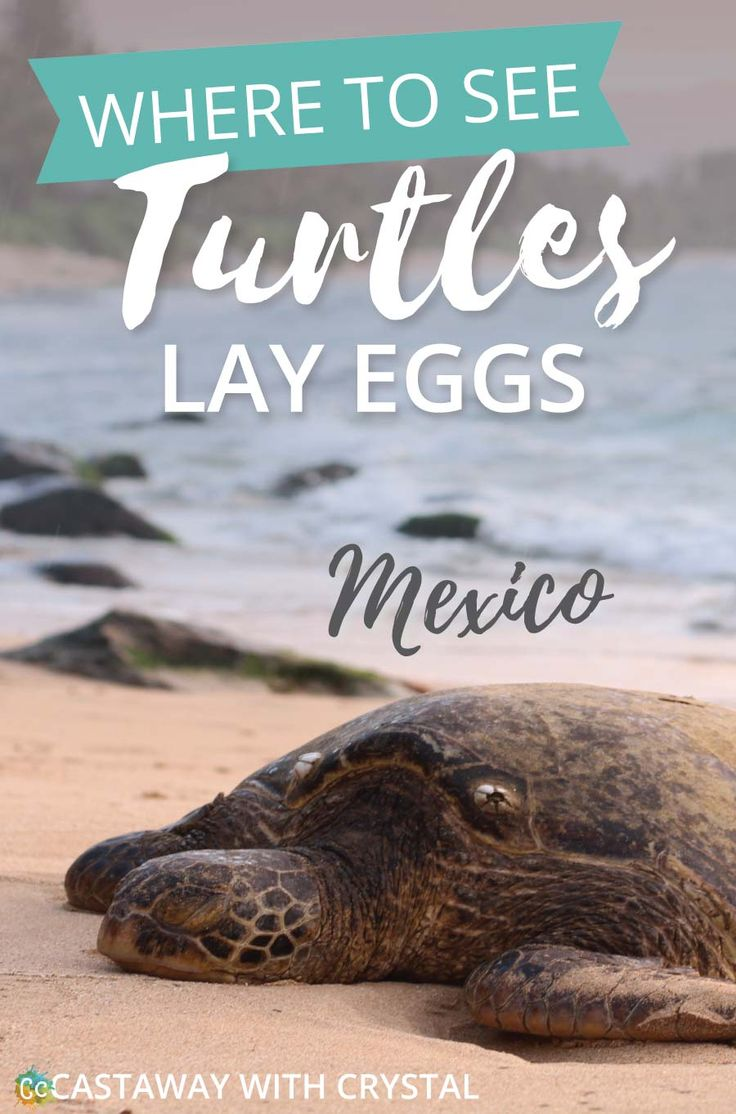 When do turtles lay eggs in Mexico? | Where to see turtles nesting in Mexico | Cancun turtle releases | When do sea turtles hatch in Cancun? | Turtle hatching season | Cancun turtle release | How to see sea turtles in Puerto Vallarta | Where to see turtles lay eggs in Tulum? | Mazunte turtle season | How to see baby turtles hatch in Akumal | Liberacion de las Tortugas | #Mexico #turtle #nest #eggs #hatch #Cancun #Akumal #Mazunte #Tulum via @CastawayCrystal