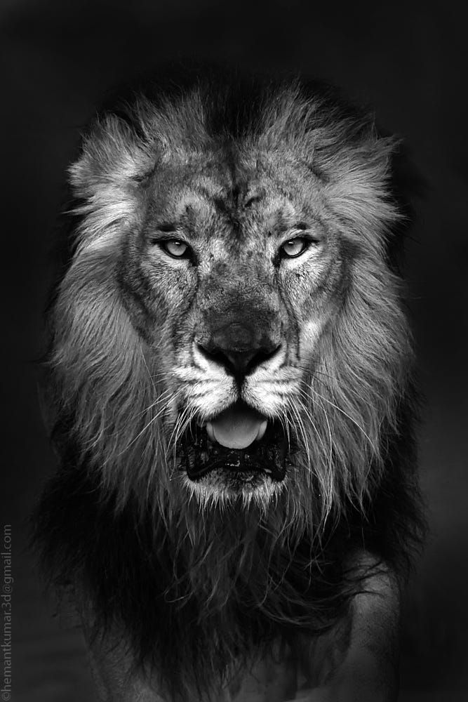Asiatic lion by Hemant Kumar on 500px