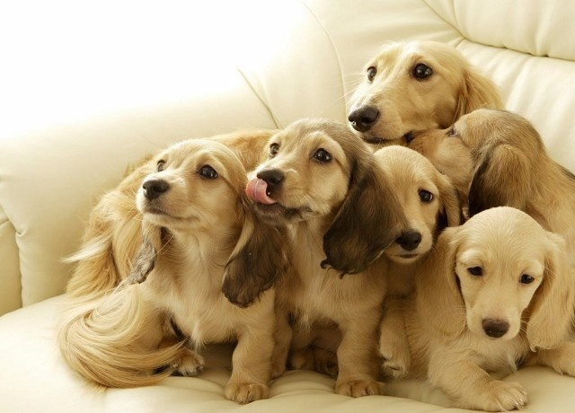 Runway Dachsies...gorgeous! I want to hugs them allDogs, Dachshund Puppies, Long Hair, Pets Pictures, Longhair, Blond, Families Portraits, Cream, Animal
