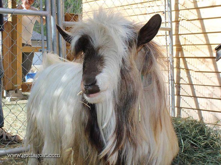 Buster Brown - Miniature Silky Fainting Goat Buck