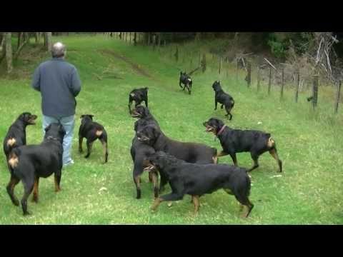 AMAZING ROTTWEILER KENNEL HARDRADA IN NZ 1 - YouTube