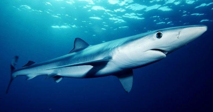 Με θλίψη παρατηρούμε τον τελευταίο καιρό τα συνεχιζόμενα περιστατικά αλίευσης και επίδειξης καρχαριών που δημοσιεύονται σε ηλεκτρονικά μέσα και ομάδες κοινωνικών δικτύων στην Ελλάδα. Τα δημοσιεύματα αυτά συμπληρώνουν μια γενικότερη εικόνα όπου σπάνια και απειλούμενα είδη στη θάλασσα και στη ξηρά υφίστανται αναίτια ανούσια και παράλογη βία.Διαβάστε τη συνέχεια